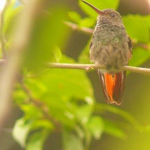 One of the most common hummingbirds we see. Also one of the most aggressive! The Rufus Tailed Hummingbird.