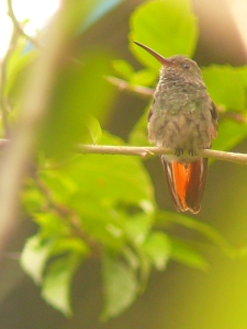 One of the most common hummingbirds we see. Also one of the most aggressive!