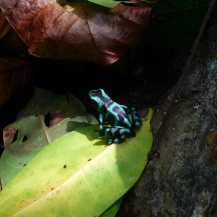 Jewel frog near the naked pool