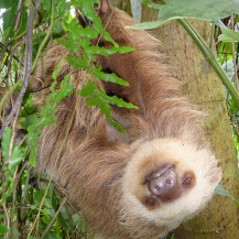 Two toed sloth hanging out