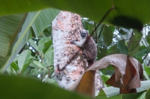 Geoffrey's Tamarin or Titi, photo by Kyle Noble